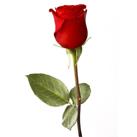 Extra Rose